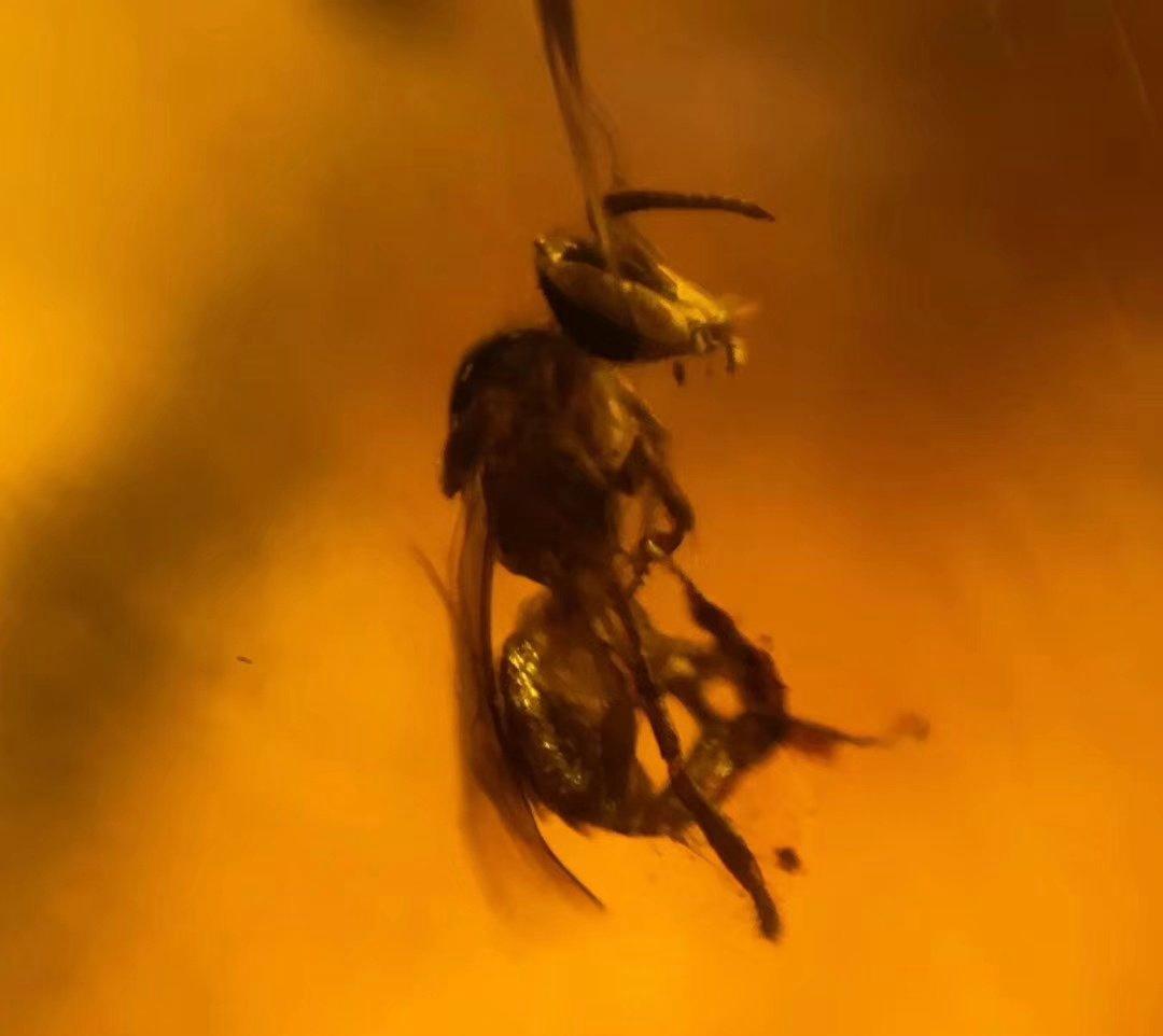 有昆虫的琥珀价格,一定比无虫琥珀的价格高吗?