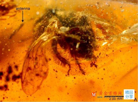 5000万年前的昆虫琥珀