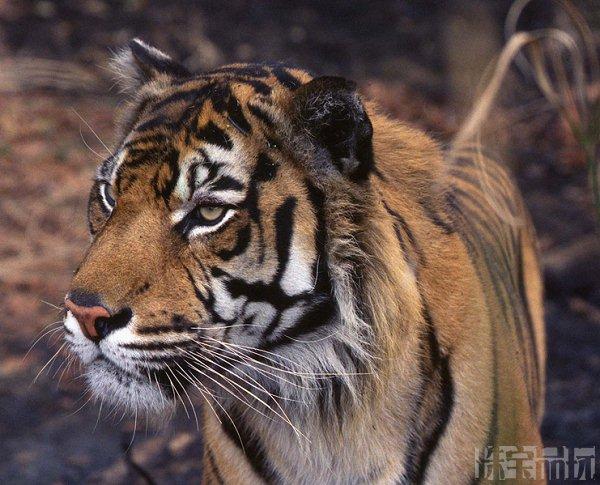 老虎的眼睛Shere Khan项链-珠宝设计【哇!行业大师灵魂之作】